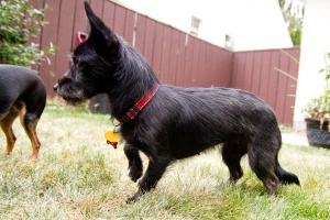 Cynder   Terrier/Dachshund Cross   ADOPTED